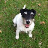 Parson Jack Russel Kulmbach